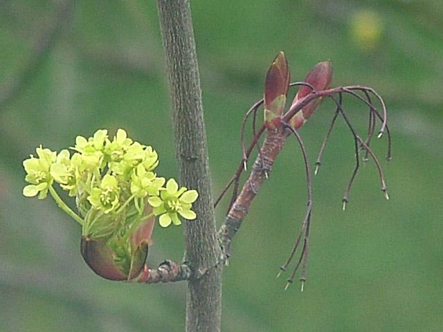 Sycamore blossom